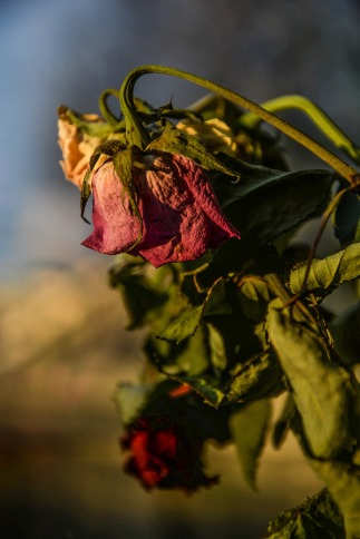 Por Monicore. (Disponível em: https://pixabay.com/en/roses-dry-dead-old-flower-nature-1350840/)